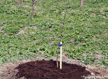 Как посадит грушу?