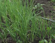 Как вырастить зеленый лук?