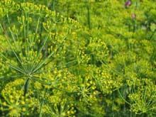 Для получения ранней продукции,укроп нужно сеять зимой или ближе к зиме.