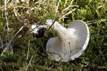 Говорушка беловатая  — гриб рода говорушек семейства Рядовковых.