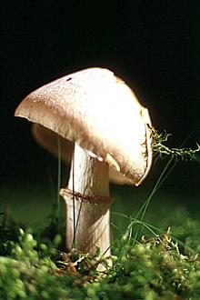 Гриб колпак кольчатый (лат. Rozites caperatus) — съедобный гриб семейства Паутинниковые