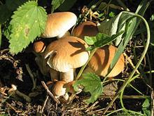 Полёвка  (агроцибе) цилиндрическая (лат. Agrocybe cylindracea) — гриб семейства больбитиевых.