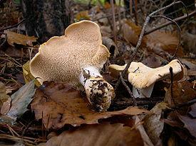 Гриб ежовик жёлтый (лат. Hydnum repandum) — гриб рода Гиднум семейства Ежовиковые.