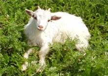 Для хорошего доения, коза каждый год должна давать приплод