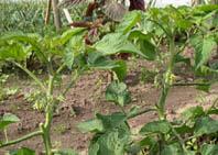 Для подкормки томатов применяют комплексные удобрения