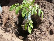 рассады необходимо слегка присыпать стебель почвой
