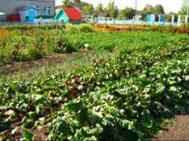 основное внесение удобрений производят осенью или весной до посева
