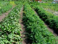 Существуют определенные правила севооборота  для овощных культур