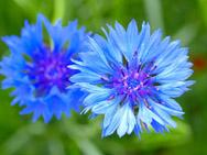Значение цветков василек