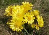 Горицвет весенний картинки