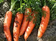 Корнеплодные овощи