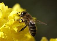 Продолжительность жизни рабочей пчелы