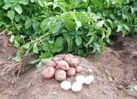 Картофель описание растения