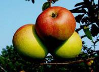 Плодоношение деревьев