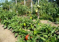 Как правильно выращивать перец?