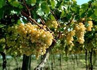 Растение виноград