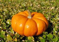 pumpkin_orange_cucurbita