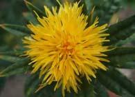 Растение шафран
