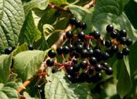 Плоды с терпким вкусом, шаровидные.  Время их созревания  в средней полосе- вторая половина июля