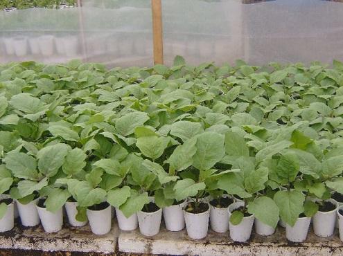 Чтобы получить ранний и хороший урожай баклажанов, необходимо правильно использовать технологию выращивания рассады