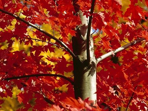 autumnal-maple