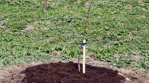 Как-посадить-дерево