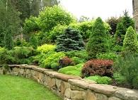 Какое хвойное дерево лучше посадить на дачном участке?