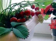 Выращивание клубники на окне