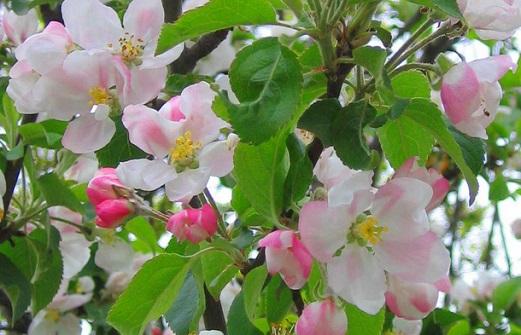 Обработка яблонь весной от вредителей