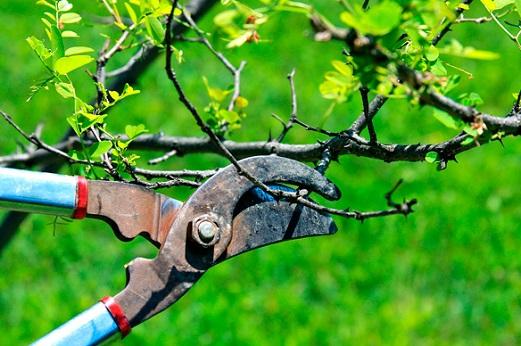 Обрезка деревьев летом
