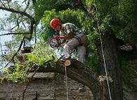 Кронирование деревьев