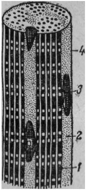 Рис. 3. Схема строения мышечного волокна: 1 — миофибрилла; 2 — саркоплазма; 3 — ядро