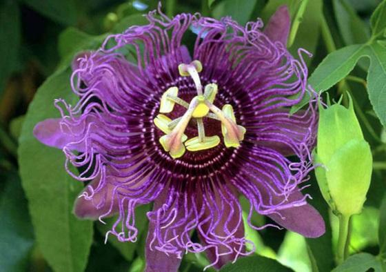 poleznyj-cvetok-passiflora