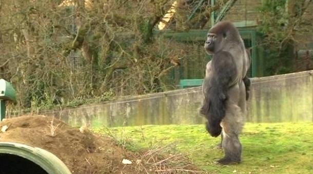 ambam-pryamoxodyashhaya-gorilla