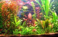 kak-vyrashhivat-akvariumnye-rasteniya