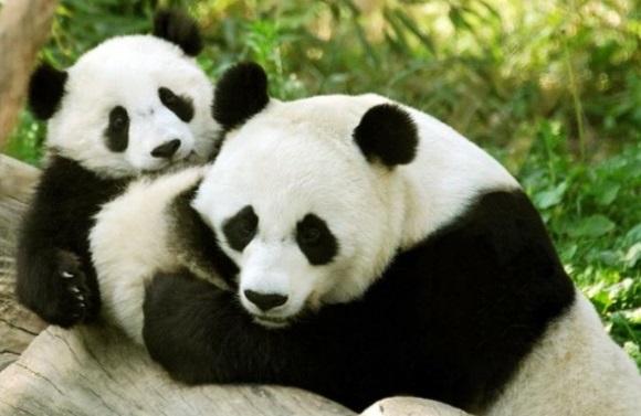 pandy-sposobny-lyubit