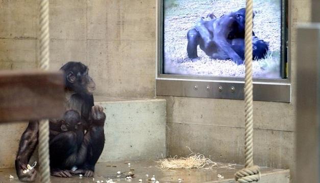shimpanze-ponimayut-filmy