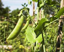 Горох — род травянистых растений из семейства Бобовые.