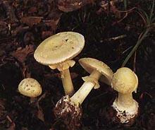 Мухомор поганковидный — гриб рода Мухомор семейства Аманитовые.