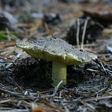 Зеленушка (лат. Tricholoma equestre) — гриб рода Трихолома
