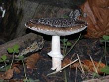 Мухомор пантерный (лат. Amanita pantherina) — гриб рода Мухомор , семейства Аманитовые .