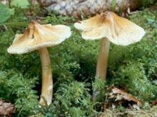 Иноцибе волокнистый-(Cortinariaceae) из семейства паутинниковых.