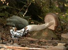 Энтолома ядовитая— ядовитый вид грибов рода Энтолома.