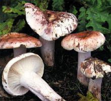 Гигрофор сыроежковый иногда можно спутать с несъедобным гигрофором краснеющим