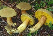 Гриб моховик зелёный (лат. Xerocomus subtomentosus) — гриб из рода Моховик.