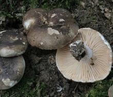 Подгруздок чернеющий (лат. Russula nigricans) — гриб семейства Сыроежковые.