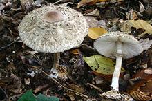 Гриб-зонтик краснеющий (лат. Chlorophyllum rhacodes) — гриб семейства шампиньоновых.