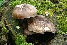 Плютей олений (лат. Pluteus cervinus) — съедобный гриб из рода плютей семейства Pluteaceae.