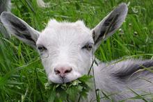 Коза  — домашнее животное из рода горные козлы