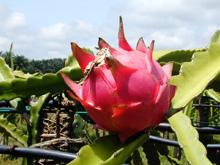 Фрукт  питайя, или питахайя, или драконий фрукт — общее название плода нескольких видов из семейства Кактусовые